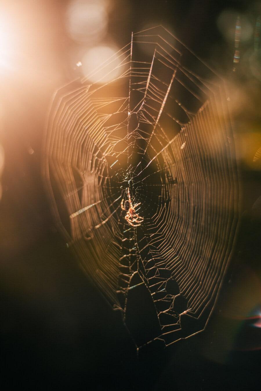 sunset, spider, spider web, sunlight, insect, bright, backlight, trap, cobweb, spiderweb