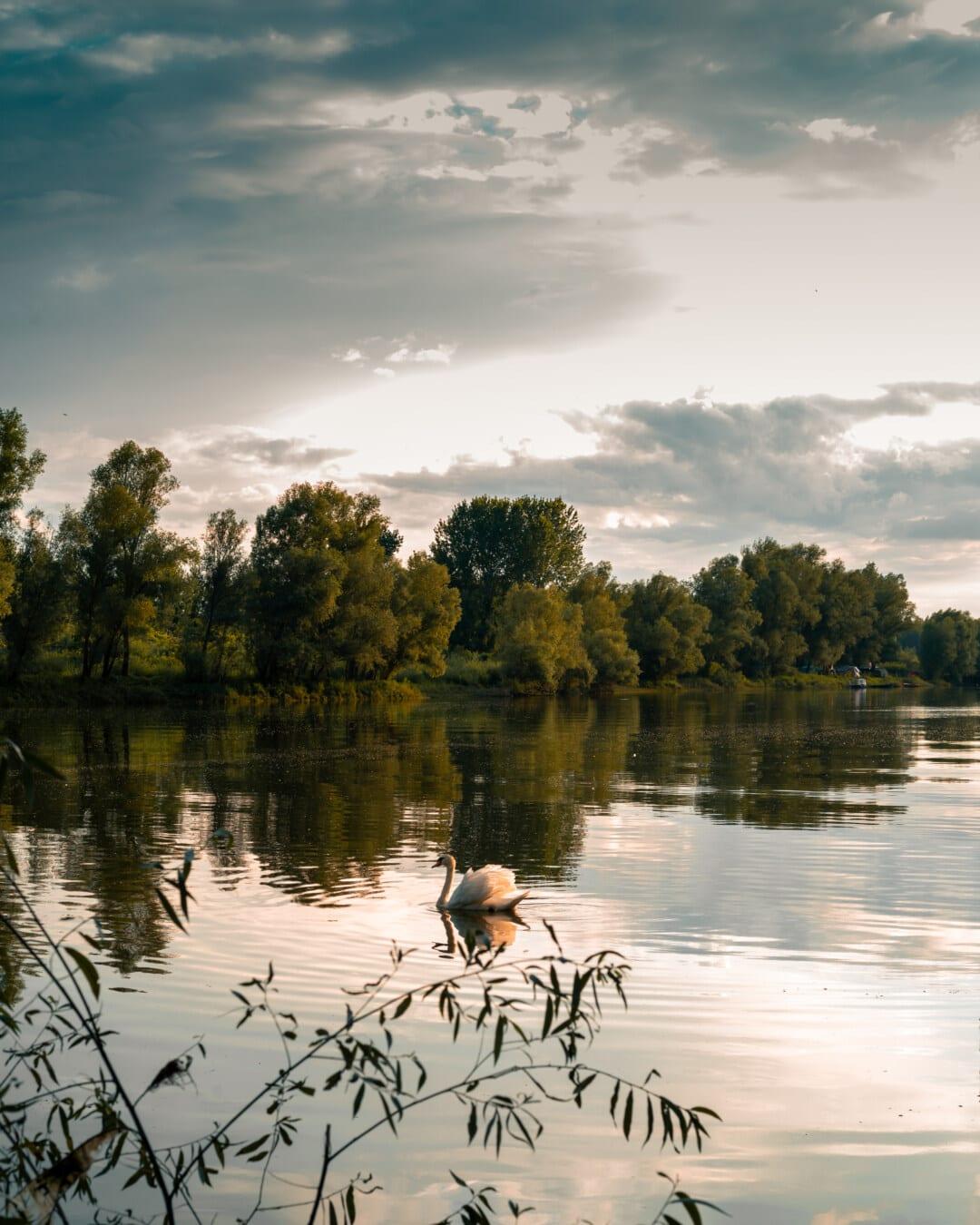 natação, graça, Cisne, majestoso, água, Lago, paisagem, reflexão, beira do lago, pôr do sol