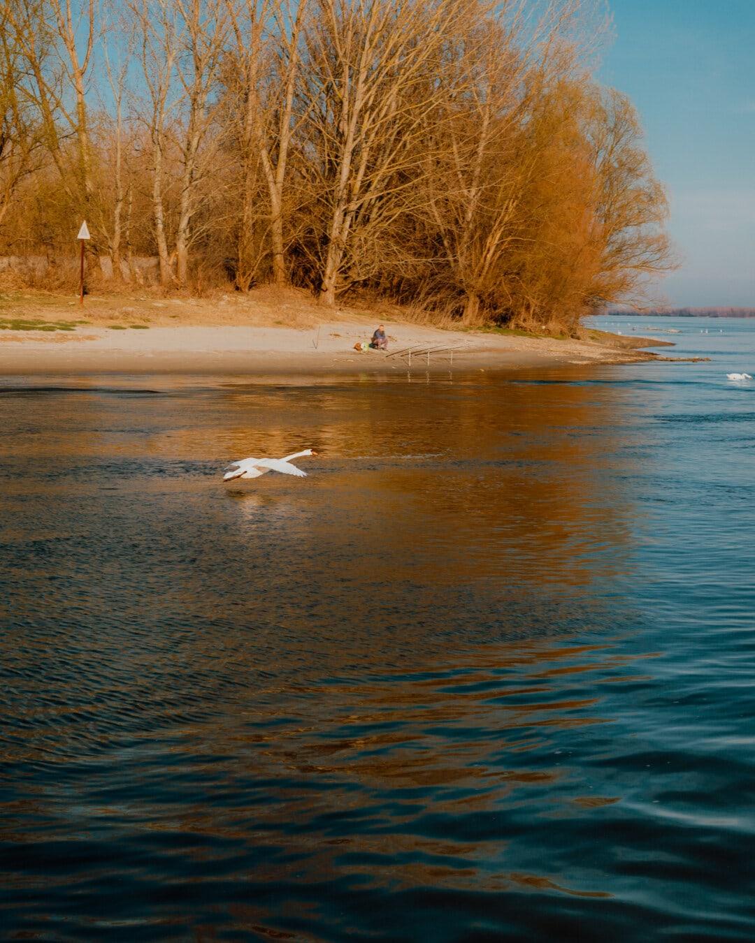 flying, swan, overflight, river, beach, landscape, dawn, water, reflection, sunset