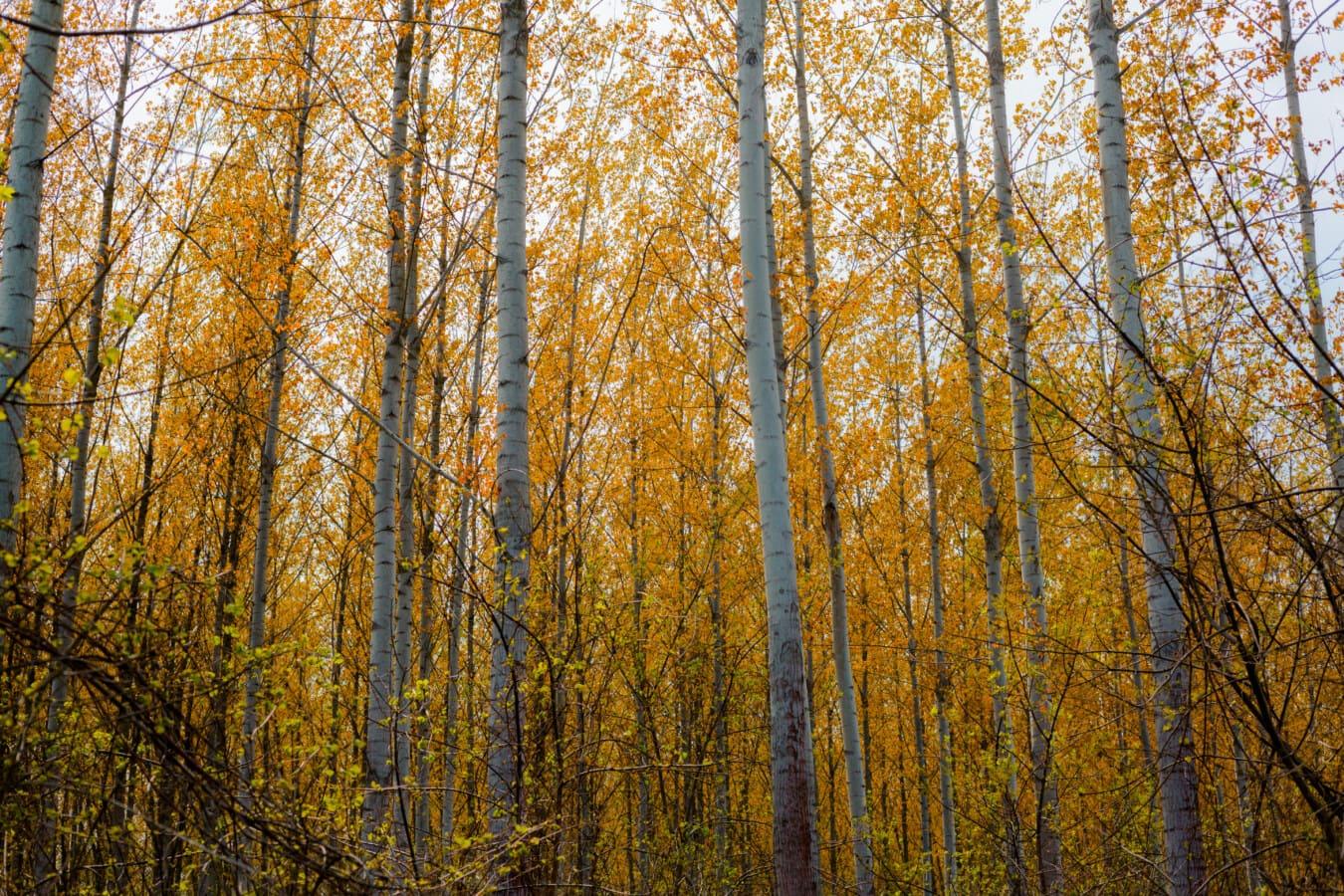 autumn season, forest, poplar, tall, trees, wood, landscape, autumn, leaf, tree