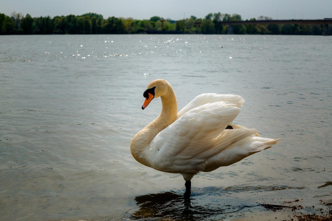 soleggiato, Cigno, Riva del fiume, SideShow, animale, Grazia, Ali, spettacolare, uccello, acqua