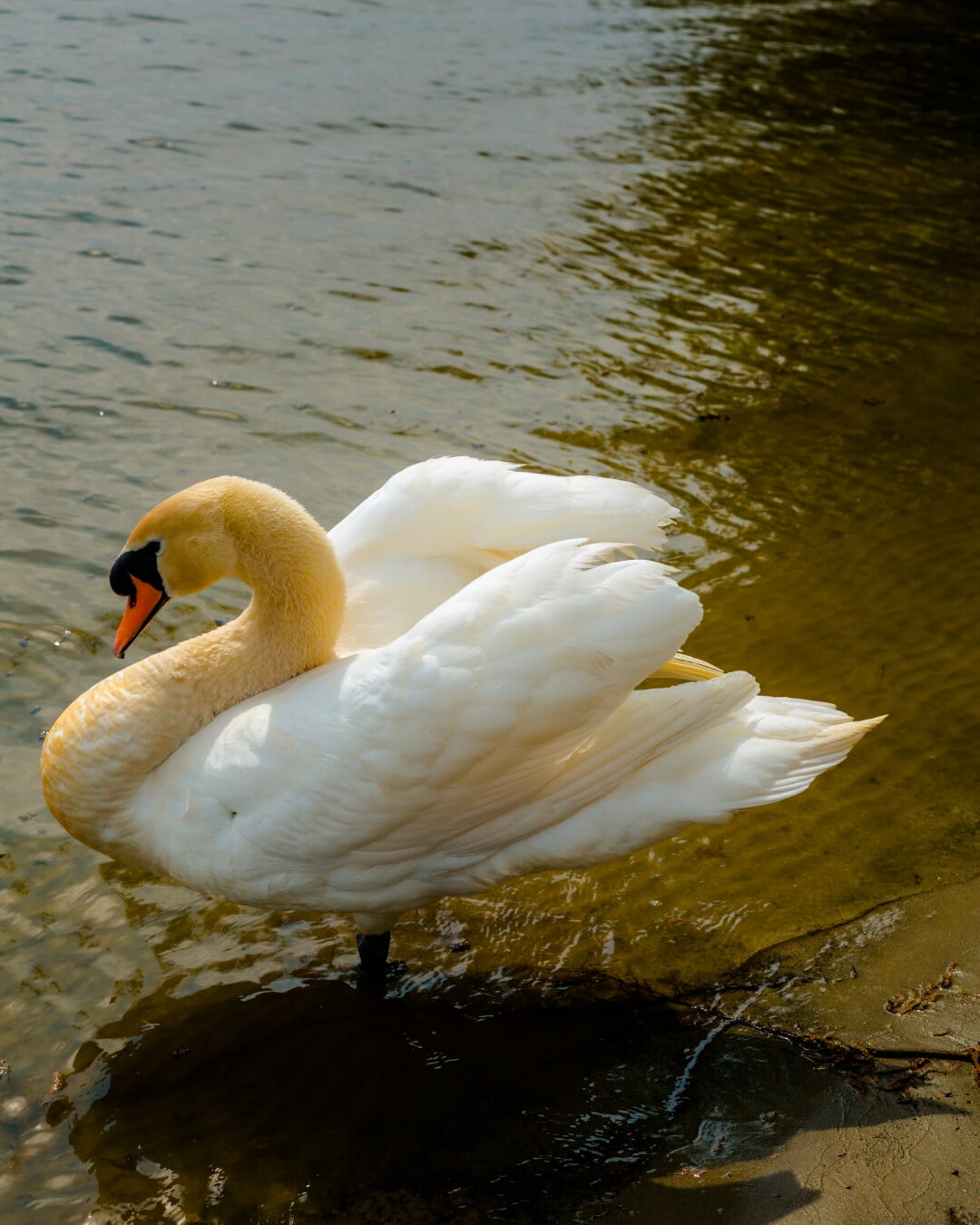 Schwan, Anmut, Hals, Seitenansicht, Natur, Vogel, Wasservögel, Wasser, See, aquatische Vogel