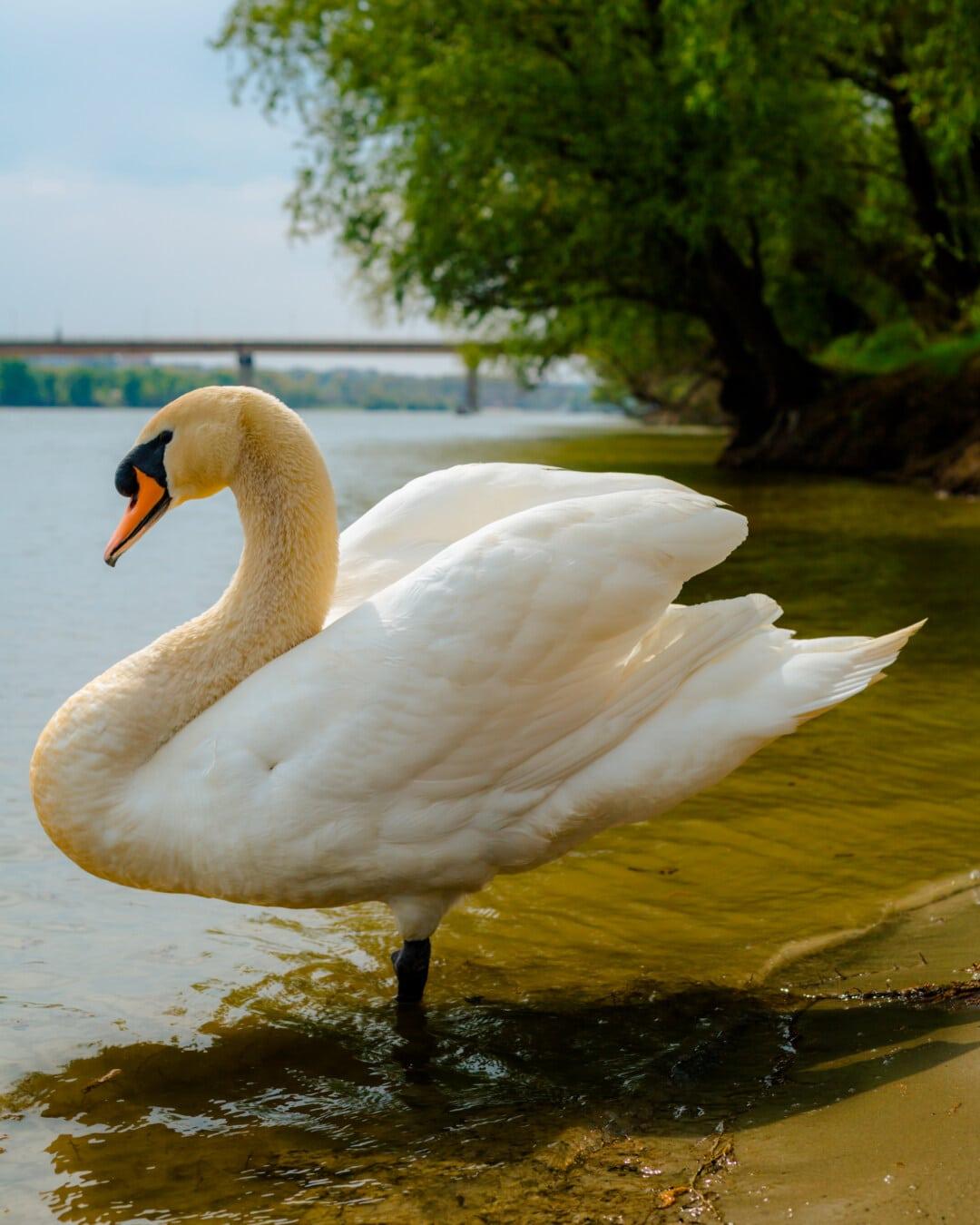svane, nært hold, halskjede, dyr, nåde, fuglen, stranden, vann, dammen, innsjø