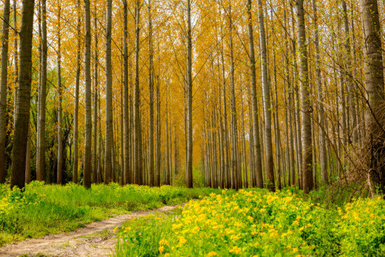 forest trail, forest path, poplar, sunny, day, wood, plant, nature, leaf, forest