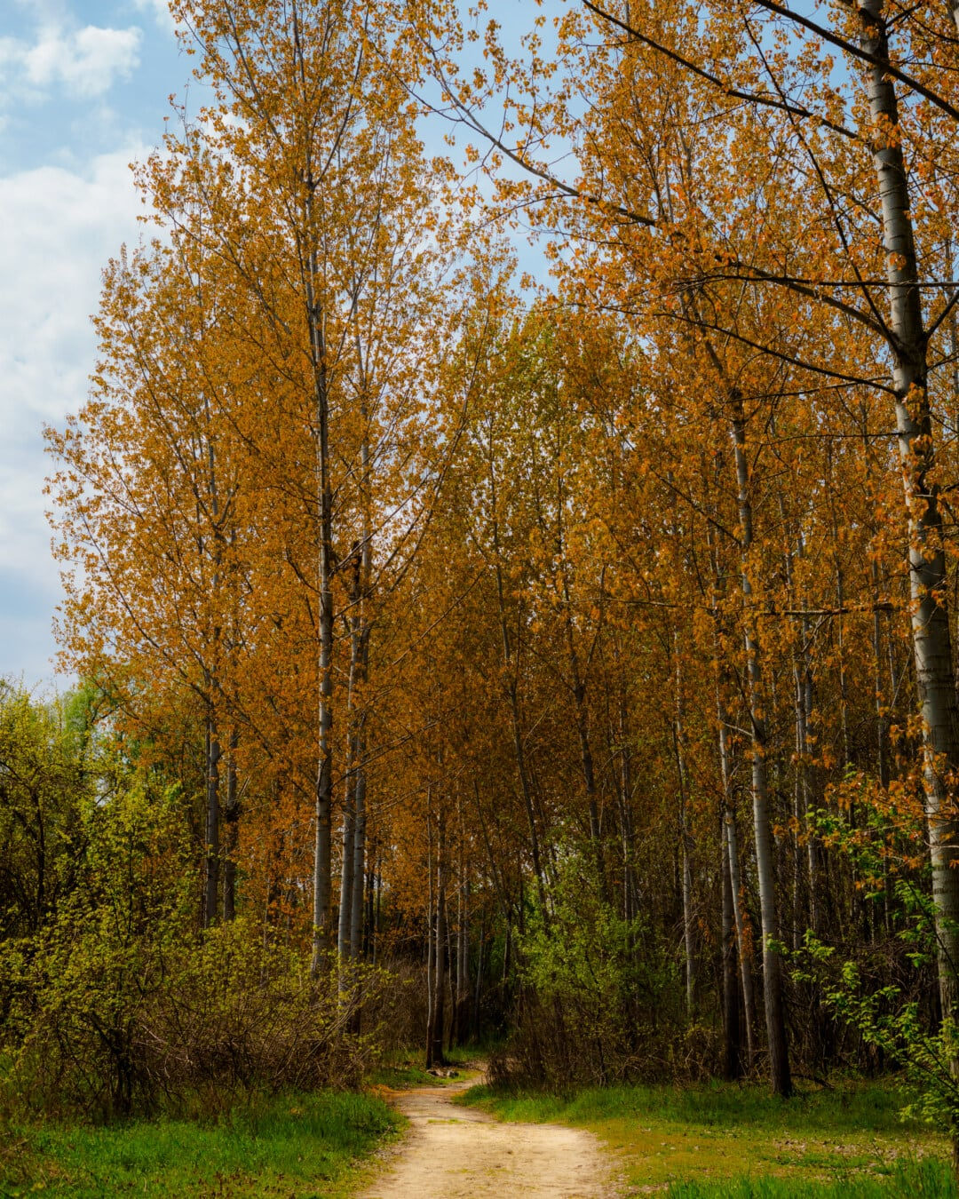 trees, forest path, autumn season, forest, poplar, wood, landscape, autumn, birch, tree