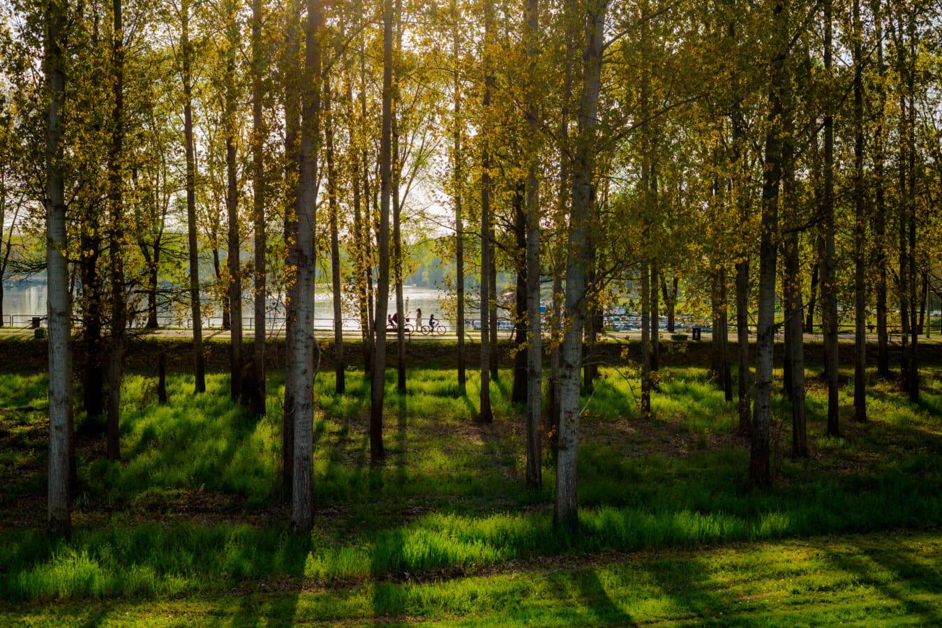 forêt, zone de villégiature, lumière du soleil, ombre, peuplier, ruelle, arbre, arbres, bois, parc