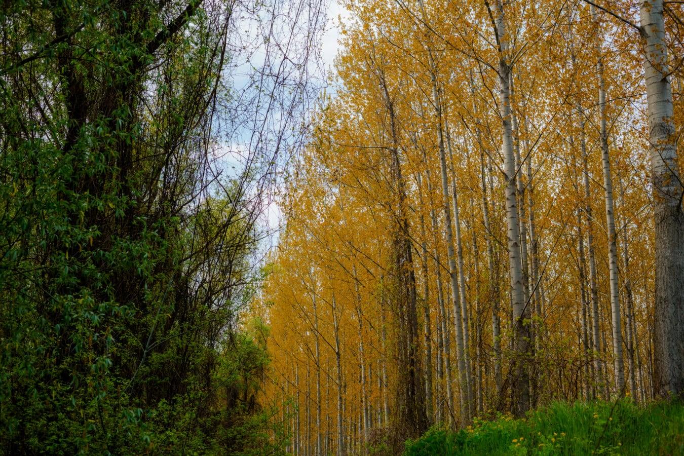 populier, bomen, geelachtig bruin, park, boom, natuur, blad, landschap, hout, bos