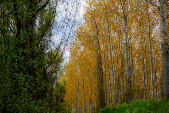 poplar, trees, yellowish brown, park, tree, nature, leaf, landscape, wood, forest