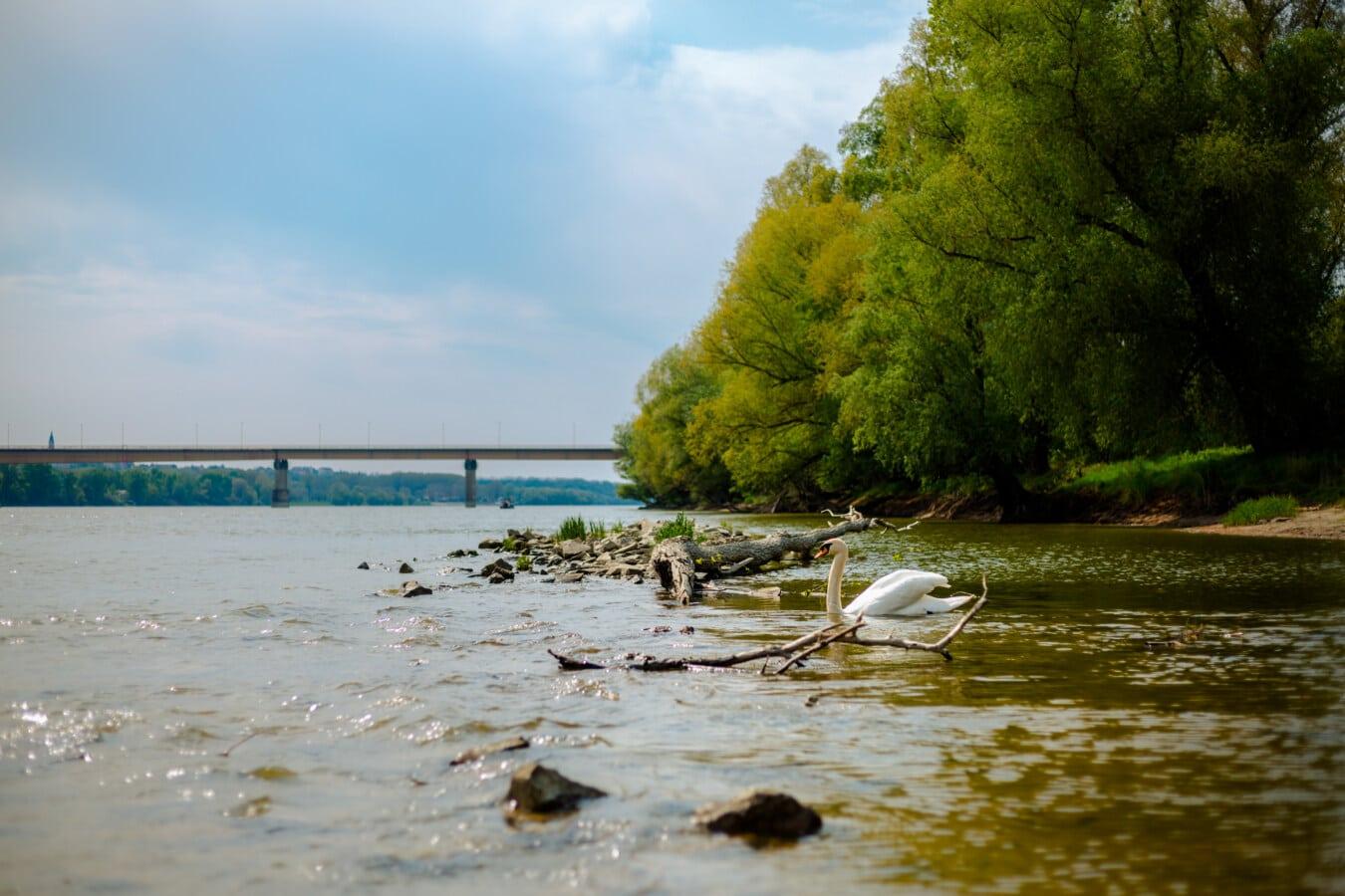 берег річки, Річка, Дунайський, птах, Лебідь, плавання, краєвид, берег, дерево, озеро
