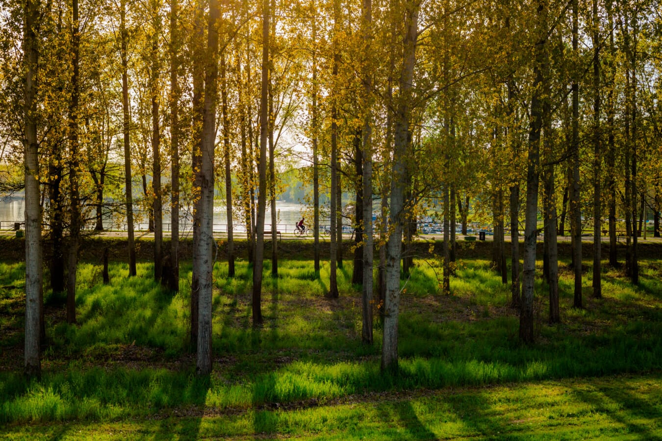 zona di villeggiatura, strada, foresta, alberi, retroilluminato, pioppo, Alba, parco, interruttore, foglia