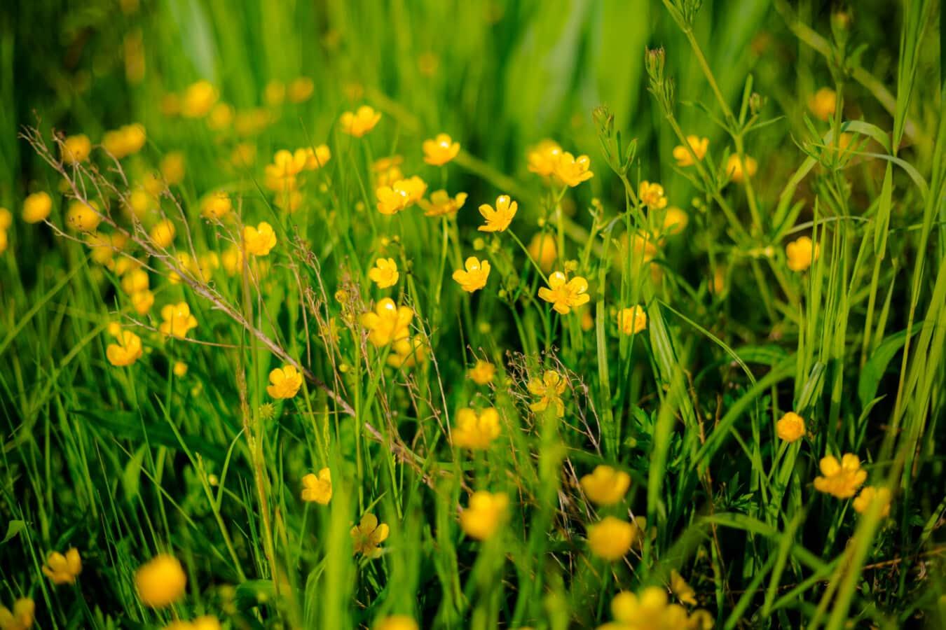 Ranunculus repens, nature, été, plante, herbe, soleil, printemps, flore, feuille, beau temps