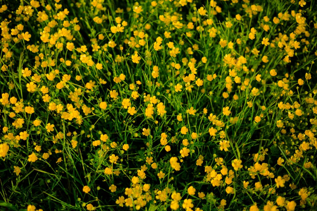Ranunculus repens, fleurs sauvages, herbe, été, printemps, flore, nature, herbe, Jaune, plante