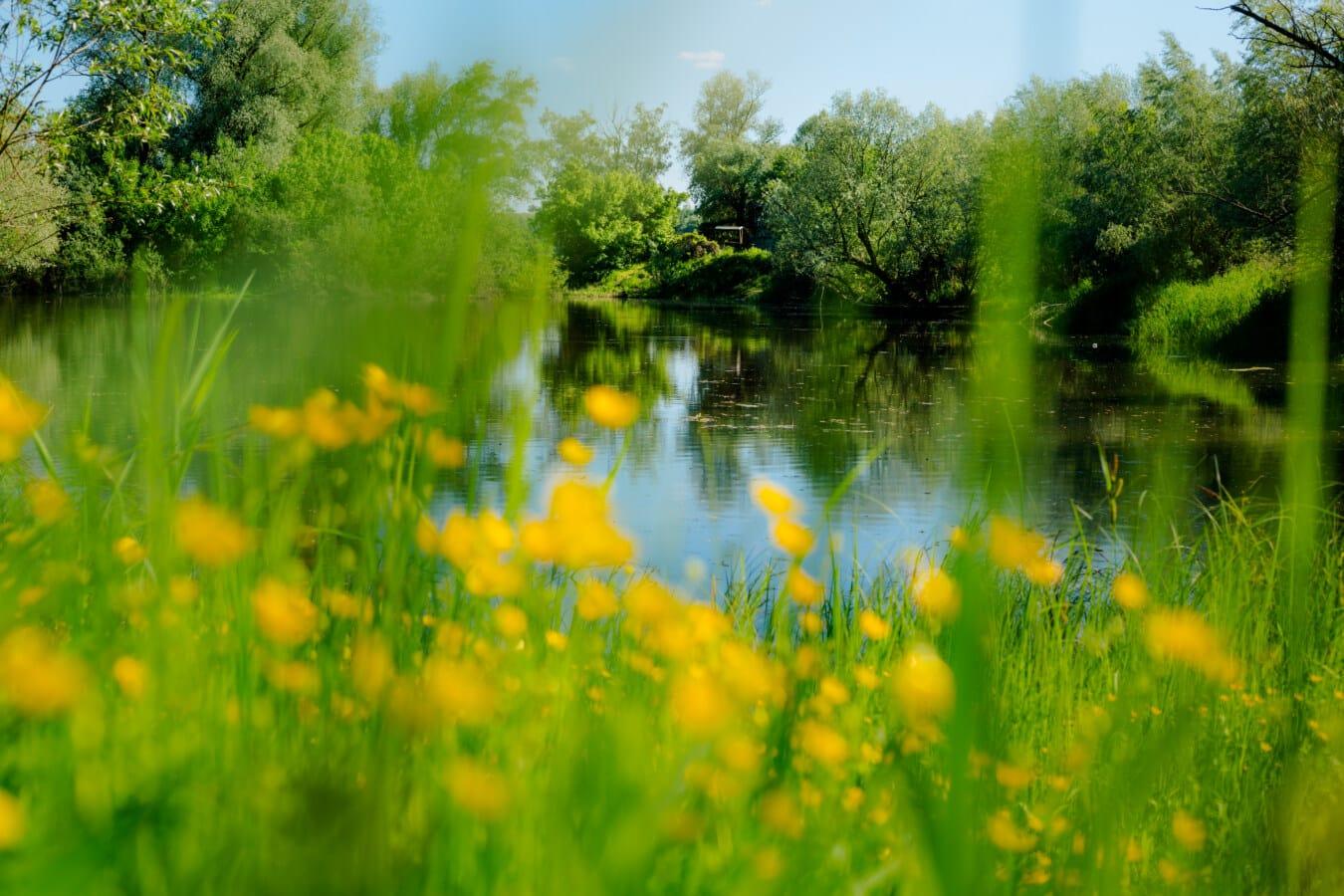 rit, divlji cvijet, travnati, močvara, vodene biljke, biljka, krajolik, šuma, jezero, drvo