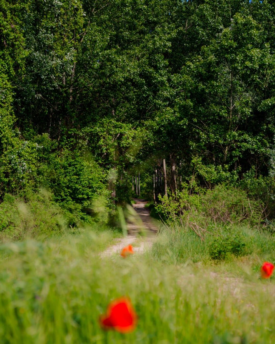 Waldweg, Forststraße, Gras, Struktur, Natur, Blume, Sommer, Landschaft, Blatt, Holz