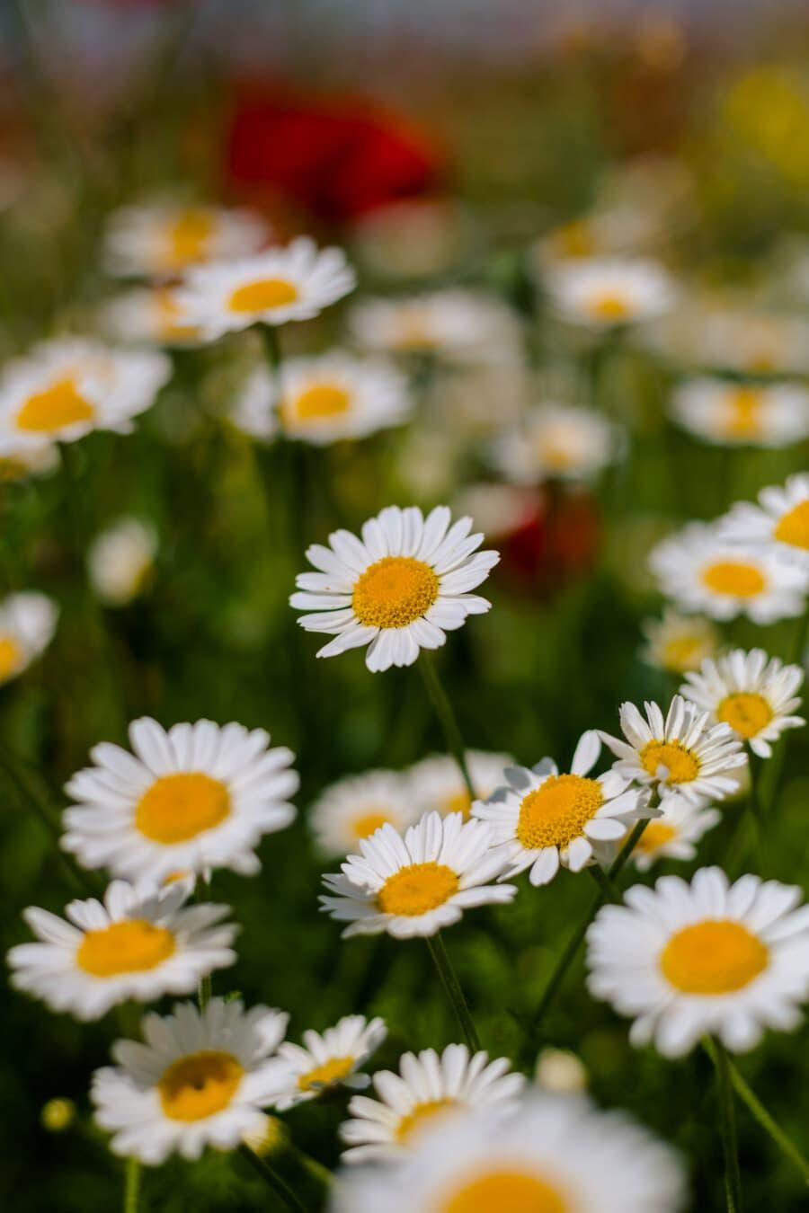 chamomile, white flower, grass, wildlife, meadow, wildflower, detail, greenish yellow, close-up, herb