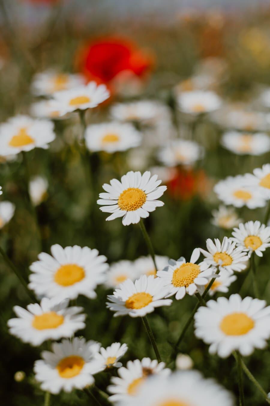 Kamille, Wildblumen, Anlage, Frühling, Wiese, Blüte, Natur, Blume, Kraut, Sommer
