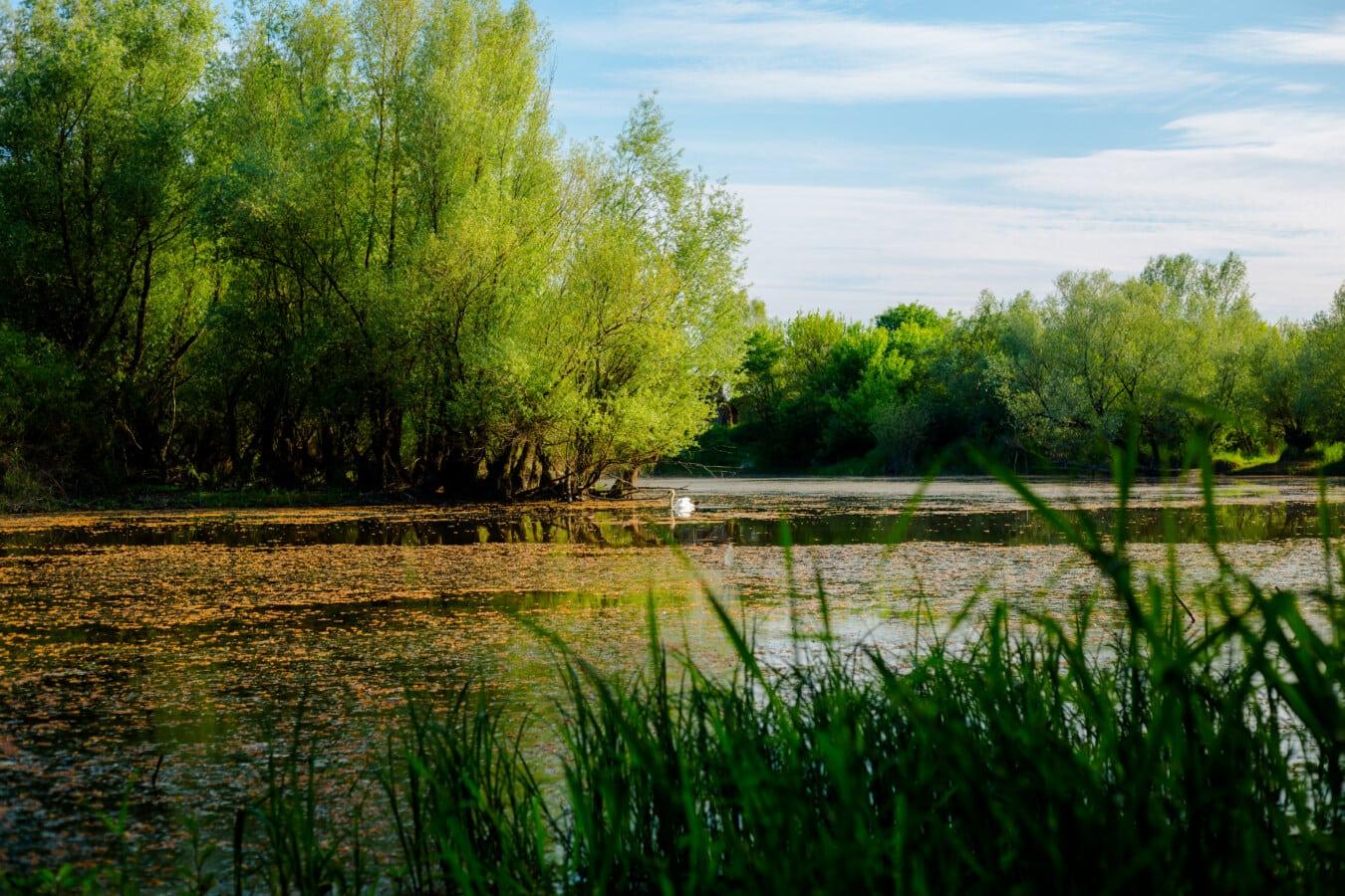 Wasserpflanze, Sumpf, Ökosystem, Natur, Landschaft, majestätisch, Struktur, See, Wasser, Wald