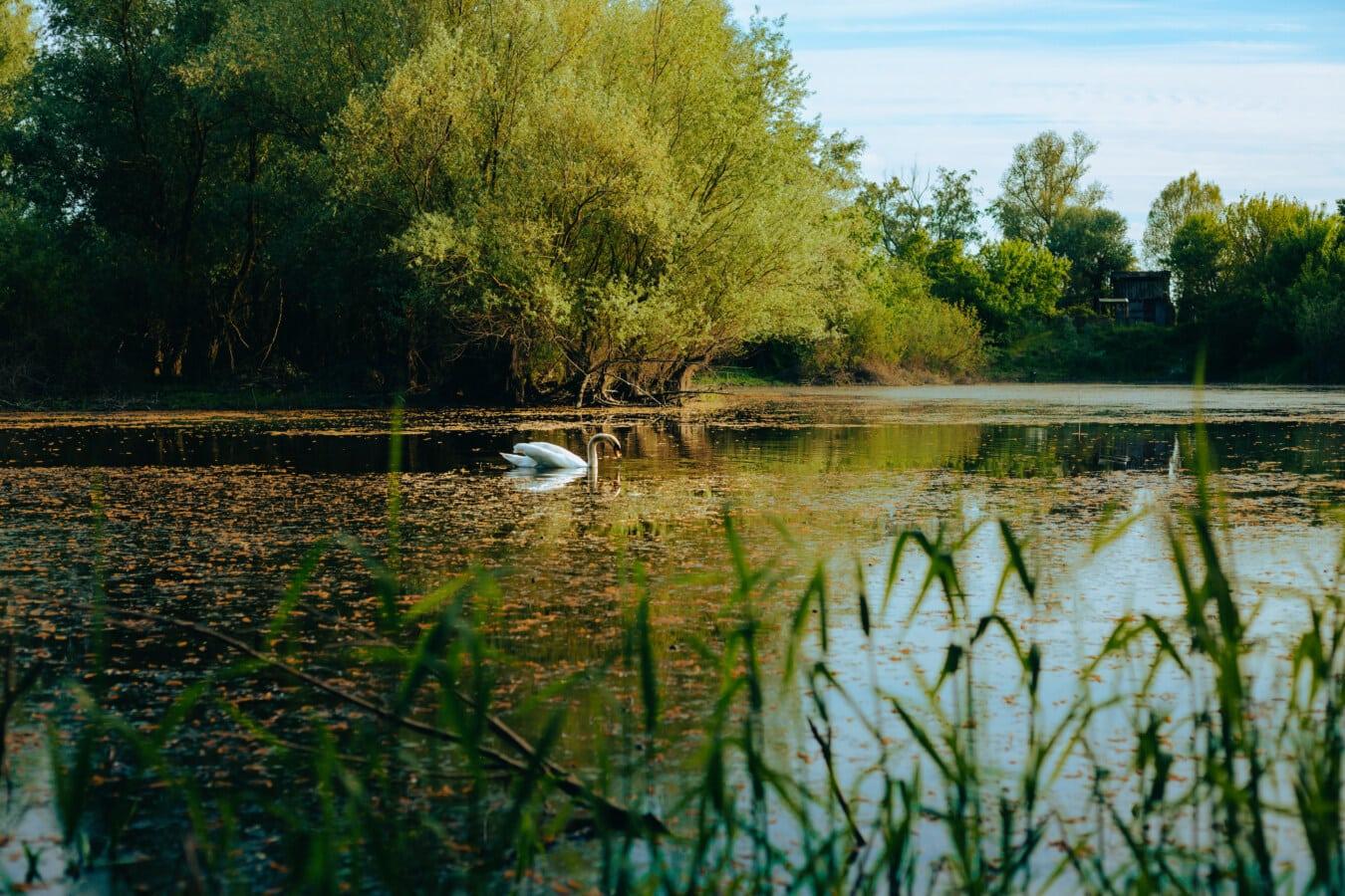ecosysteem, aquatische, waterplant, zwaan, vogel, genade, meer, landschap, boom, moeras