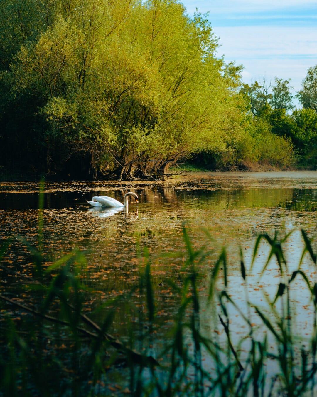 akvatisk fugl, marsken, økosystem, vandplanter, nåde, svane, svømning, smuk, fugl, natur