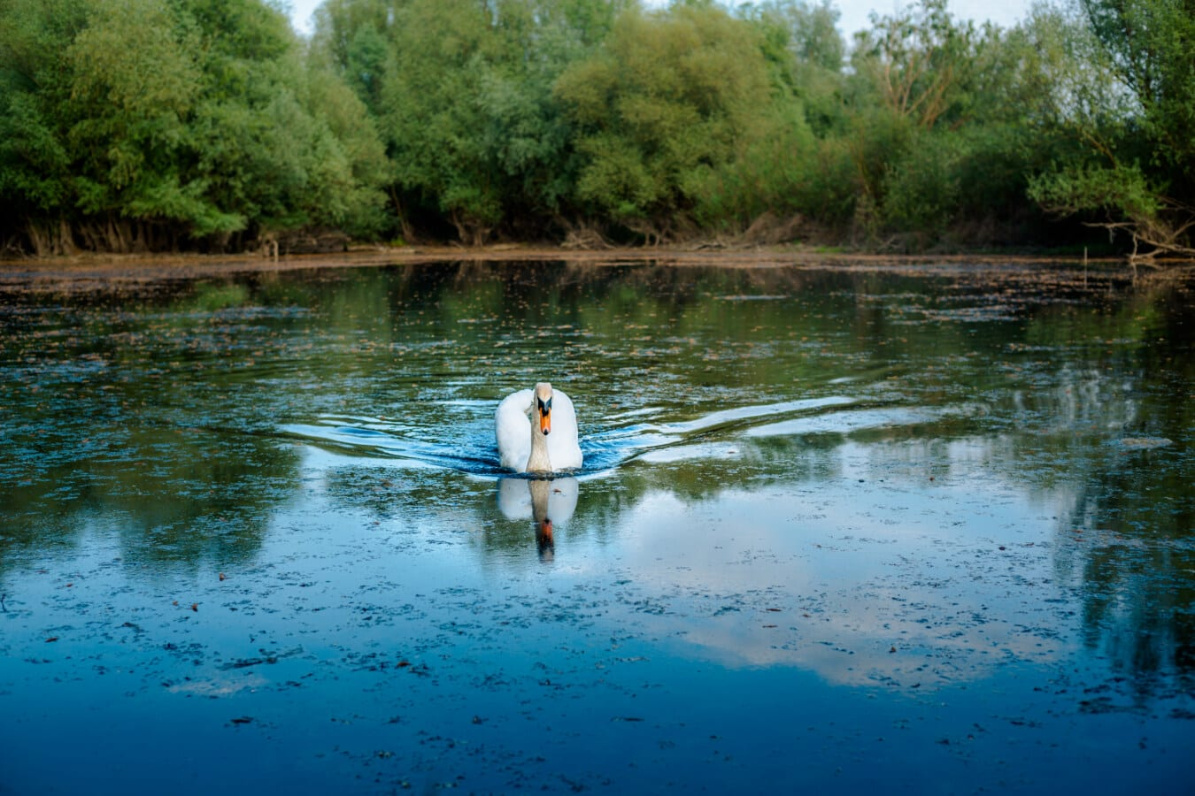 swamp, marshlands, swan, grace, bird, swimming, water, lake, reflection, river