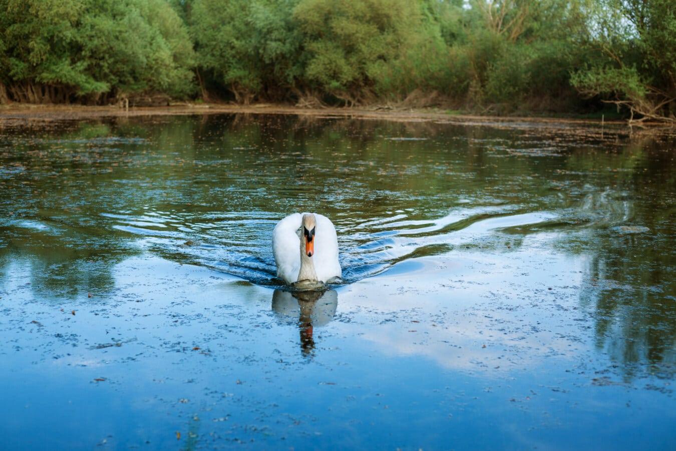 чистота, величавый, птица, лебедь, благодать, плавание, болото., отражение, река, бассейн