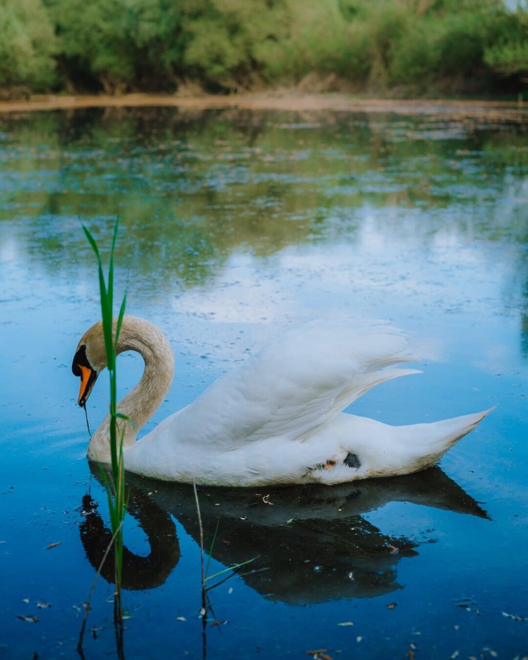 swan, majestic, grace, bird, side view, wading bird, reflection, heron, lake, water