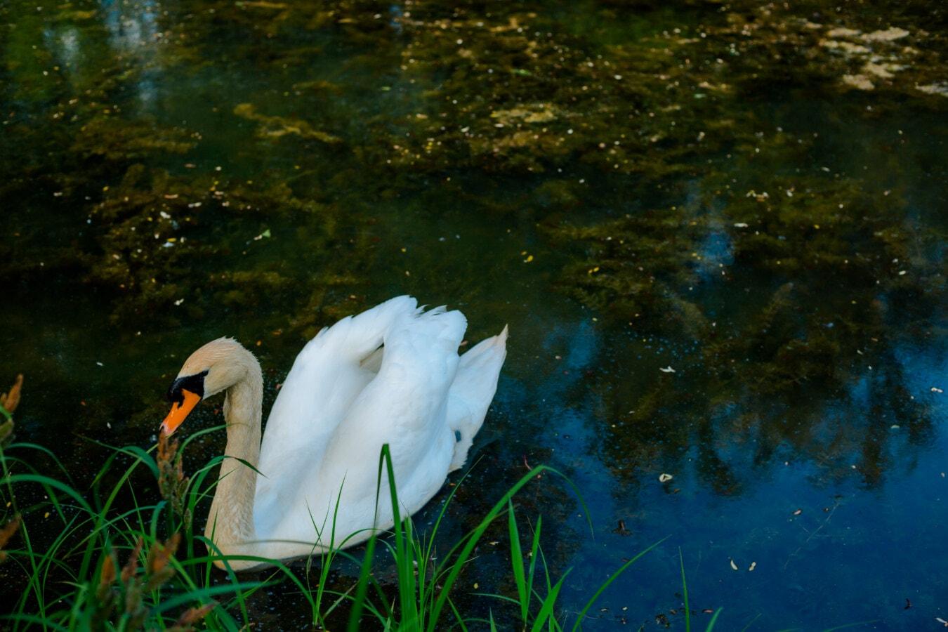 contacto directo, cisne, Gracia, bañados, Lago, agua, flora y fauna, naturaleza, vadear el pájaro, pájaro