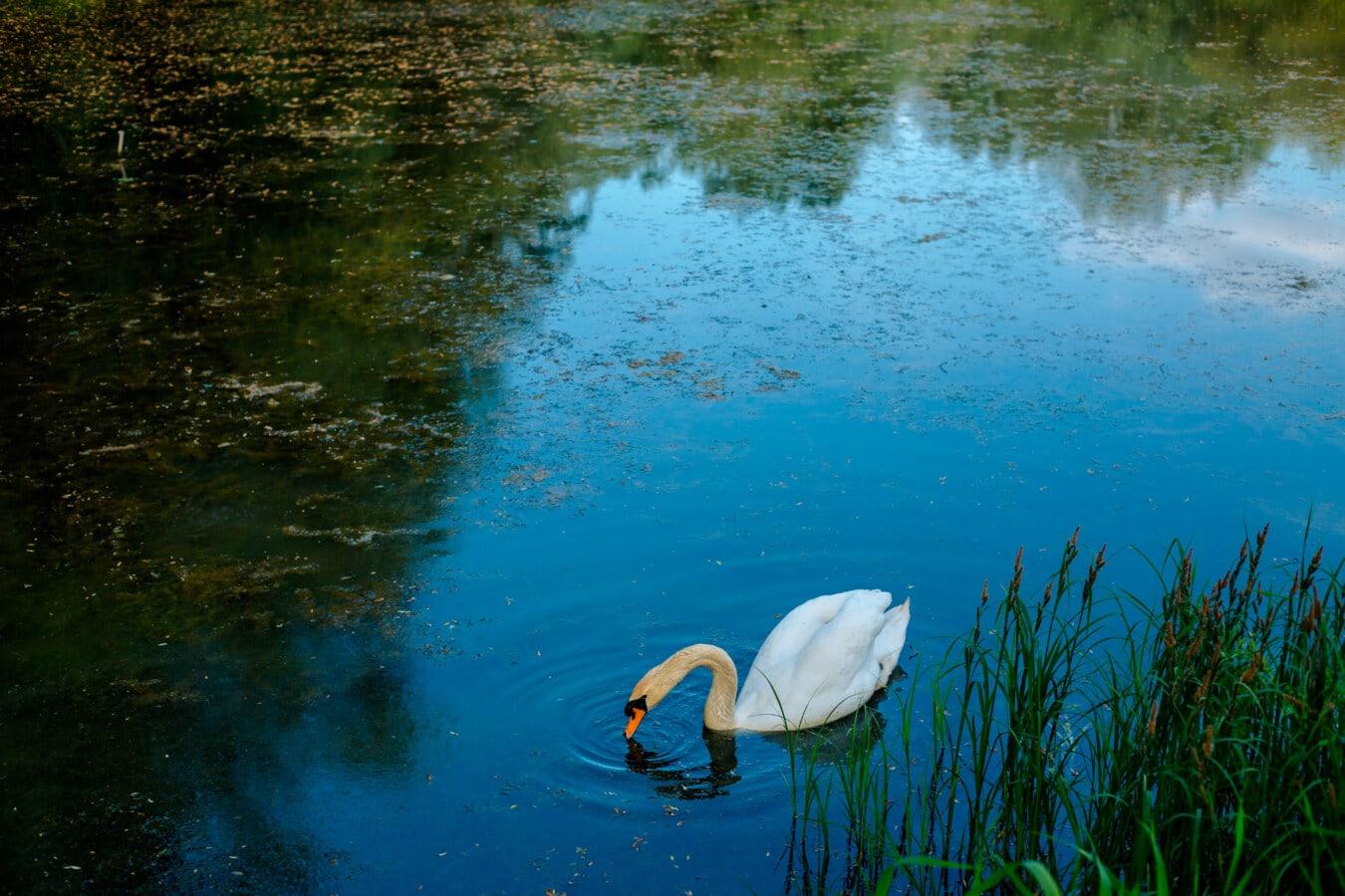 đầm lầy, thôn dã, con chim, Thiên Nga, một mình, cảnh quan, hồ nước, nước, wading chim, thủy sản chim