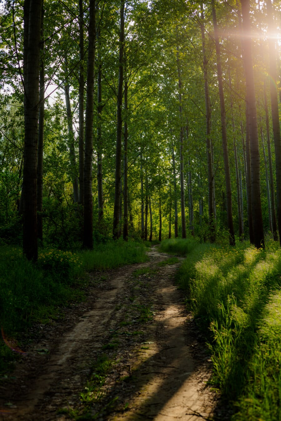 forest path, sunlight, sunrays, shadow, trees, tree, woods, wood, forest, landscape