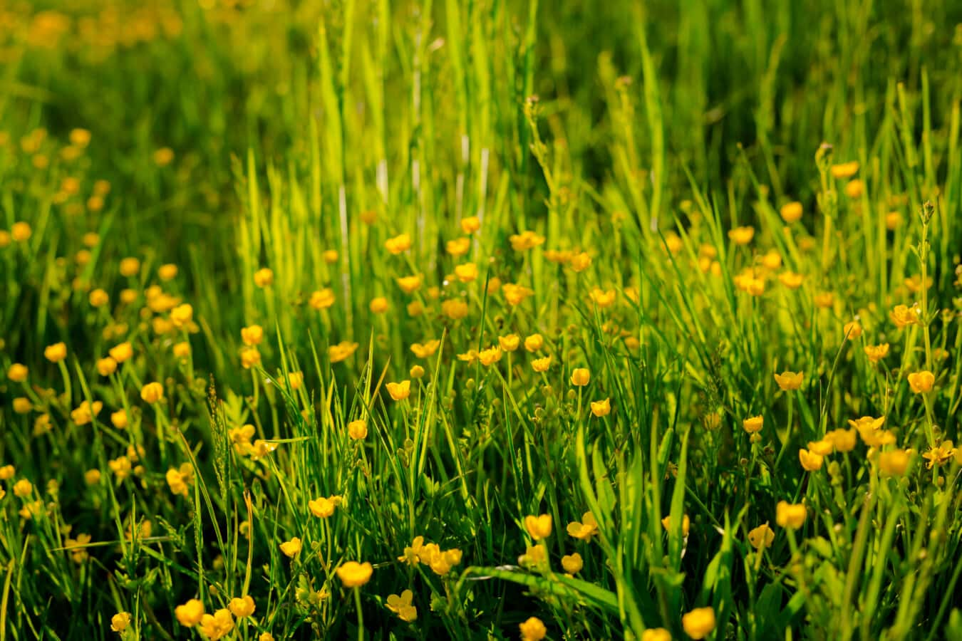 Ranunculus repens, grass, wildflower, grass plants, sun, field, rural, nature, fair weather, hay field