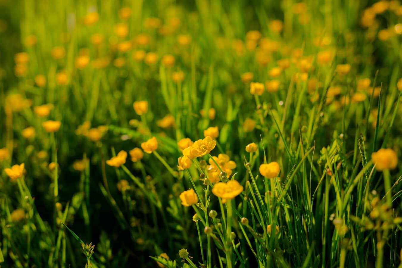 yellowish, wildflower, grassland, grass, field, fair weather, plant, herb, nature, Ranunculus repens