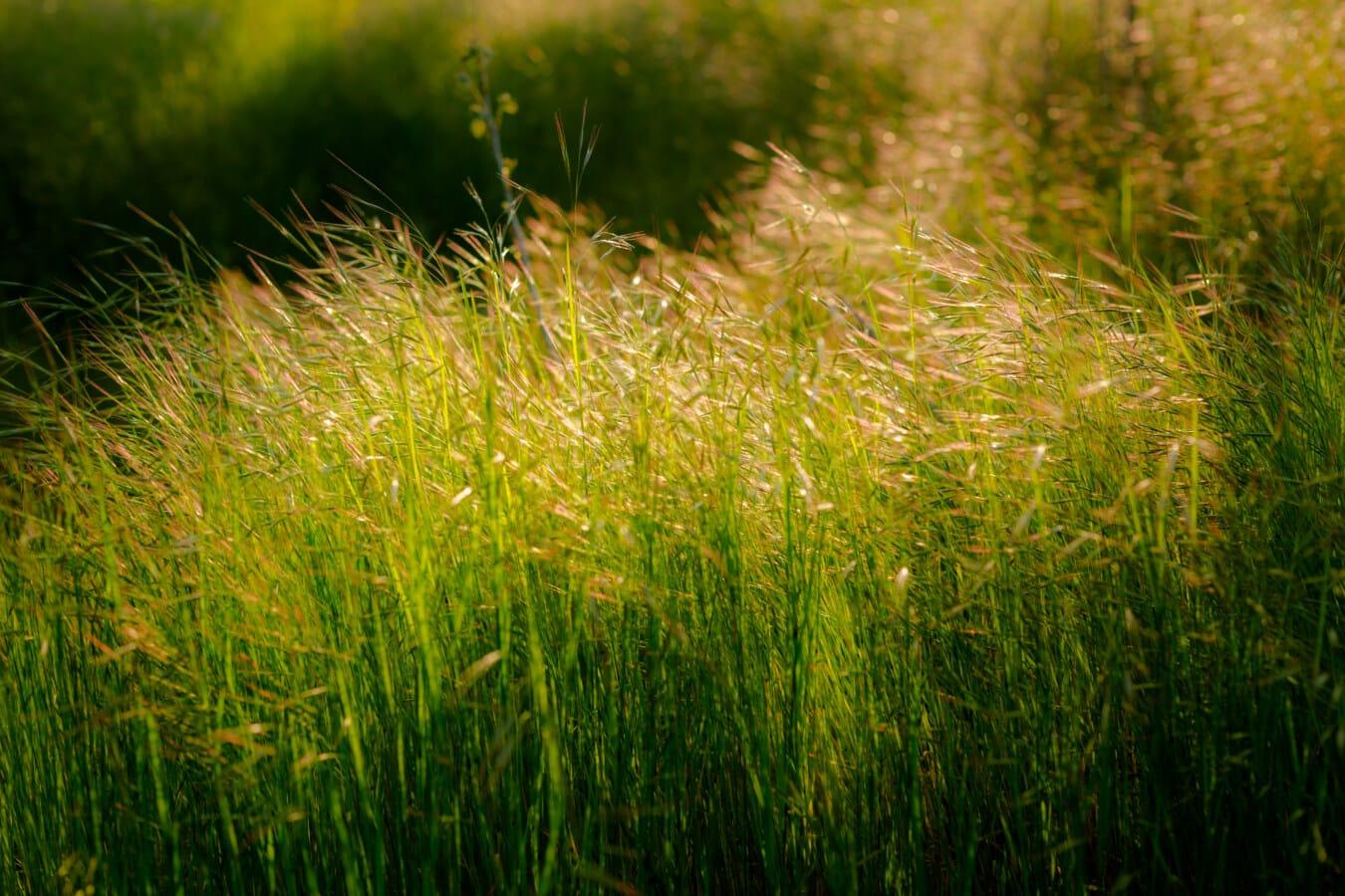 graminées, herbeux, printemps, brillant, lumière du soleil, plante, printemps, herbe, pelouse, aube