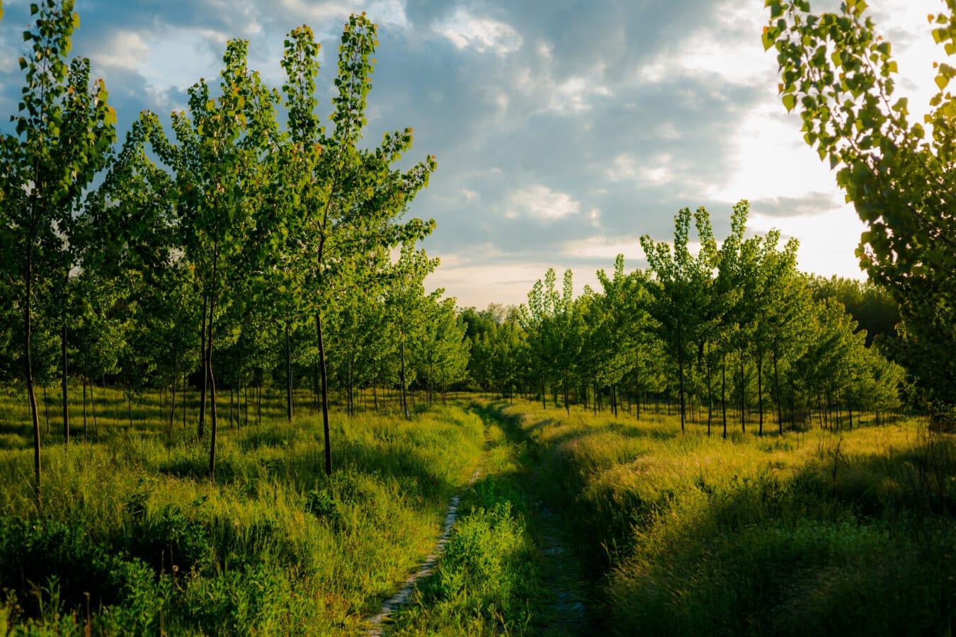 skogsstig, skogsväg, dagsljus, Solljus, våren, ljusa, träd, lövverk, ekosystem, poppel