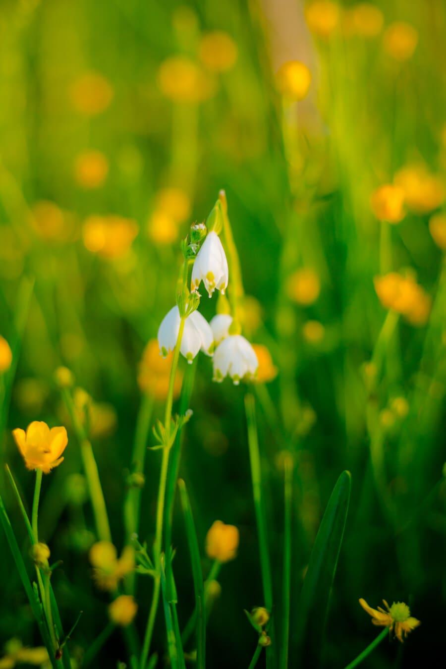 화이트 워터, 야생의 꽃, 공장, 봄, 태양, 공정한 날씨, 수 선화, 잔디, 자연, 꽃