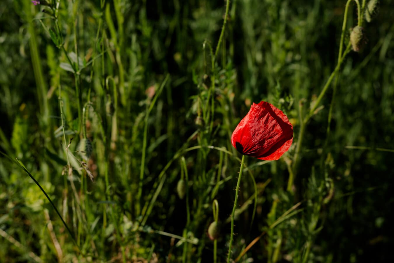 veličanstven, Mak, cvijet, trava biljka, Maka, polje, cvatanje, ljeto, biljka, cvijet