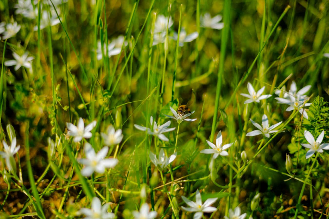 Honigbiene, Biene, Bestäuber, Bestäubung, Insekt, grasbewachsenen, weiße Blume, Wildblumen, Blatt, Wiese