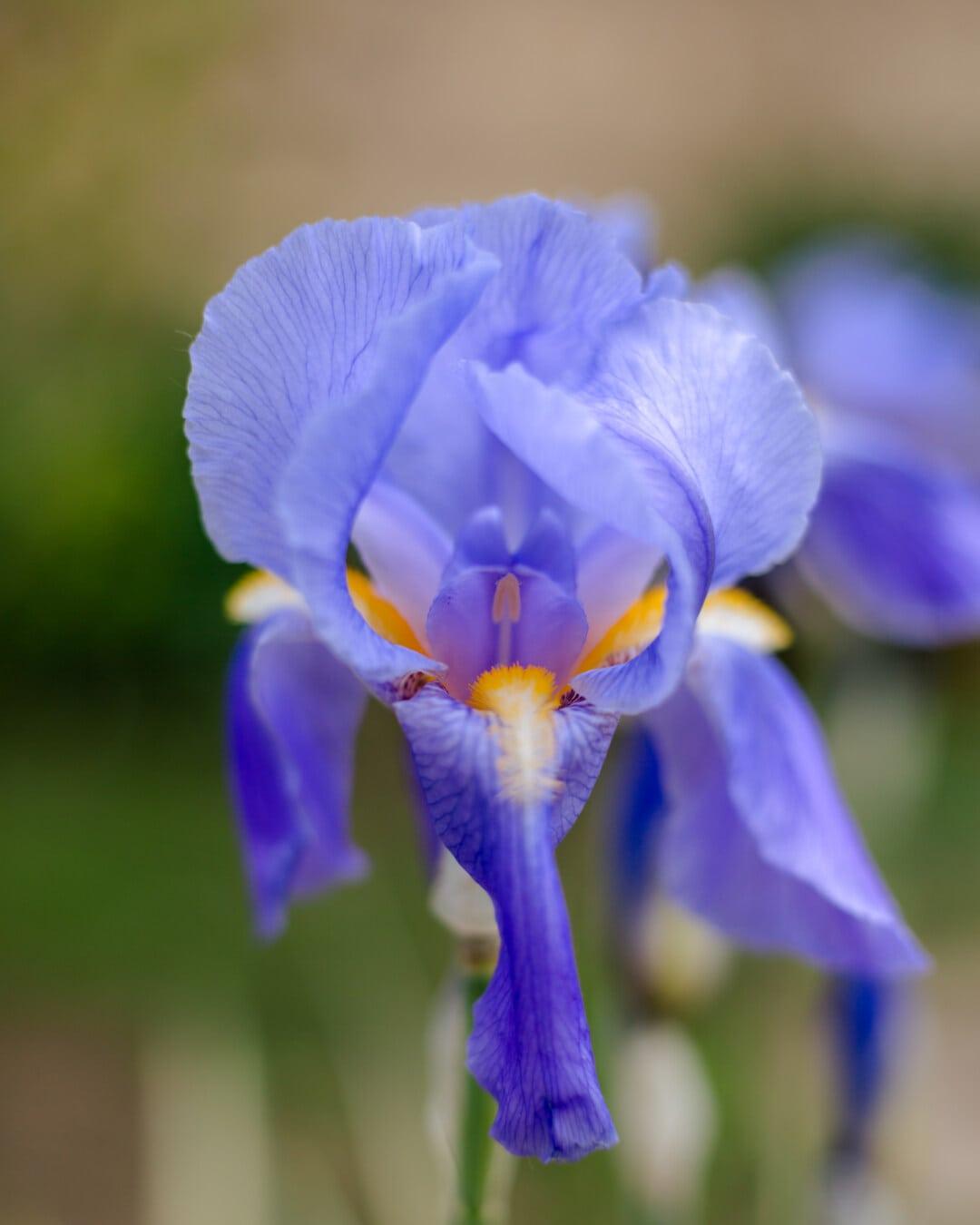 fioletowy, kwiat, Iris, pyłek, płatki, zbliżenie, kwiat, Płatek, zioło, roślina