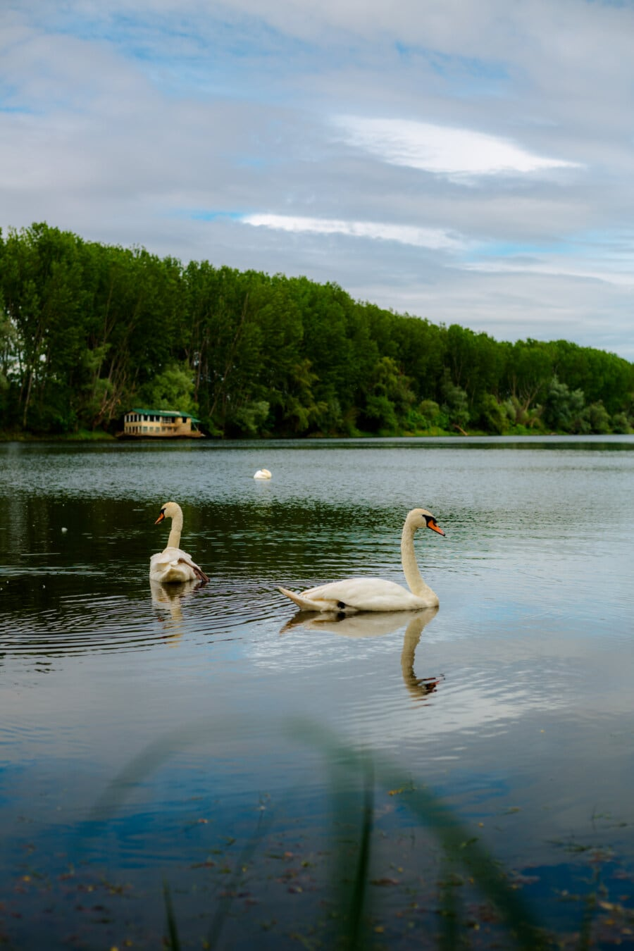 akvatiske fugl, svane, naturlige habitat, nasjonalpark, innsjøen, innsjø, Flamingo, vann, natur, fuglen