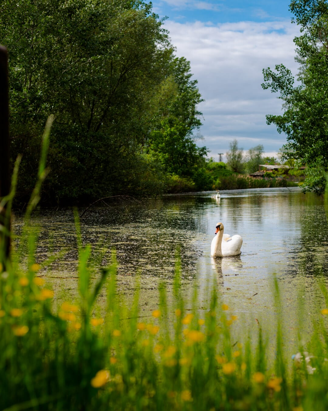 swamp, swan, wetland, water, tree, landscape, reflection, lake, pool, nature