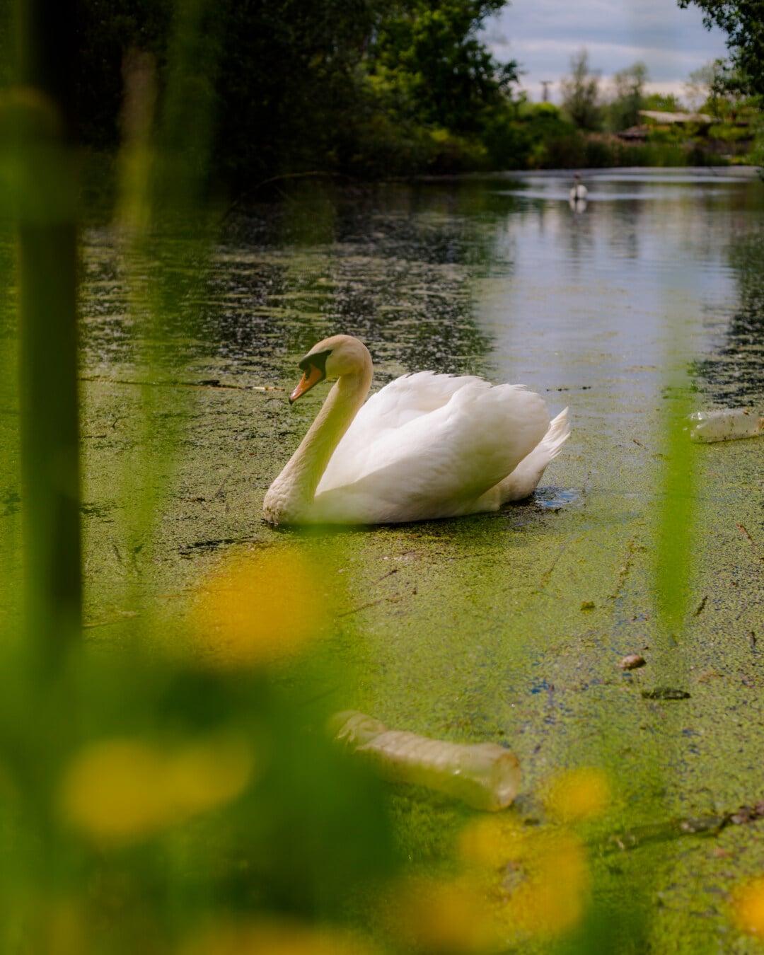 Sumpf, Marschland, Wasserpflanze, aquatische Vogel, aquatische, Ökosystem, Ökologie, Schwan, See, Natur