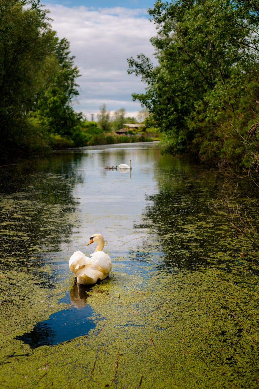 berge, canal, famille d'oiseaux, cygne, eau, Lac, rive, réflexion, au bord du lac, piscine