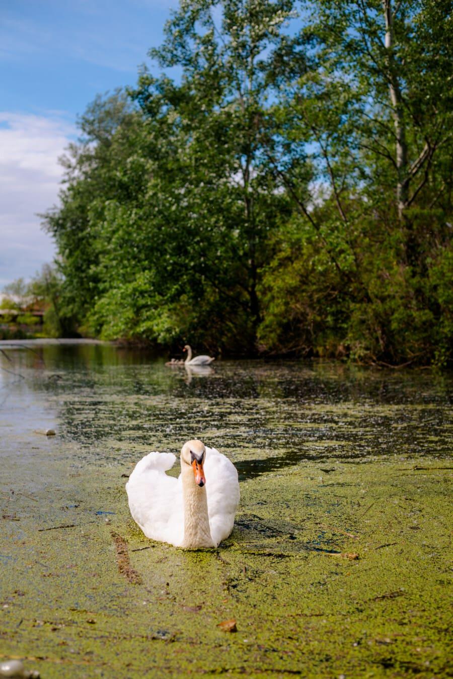 Kuğu, Yüzme, zarafet, Bataklık, sucul bitki, yürüyen kuş, Göl, su, kuş, doğa