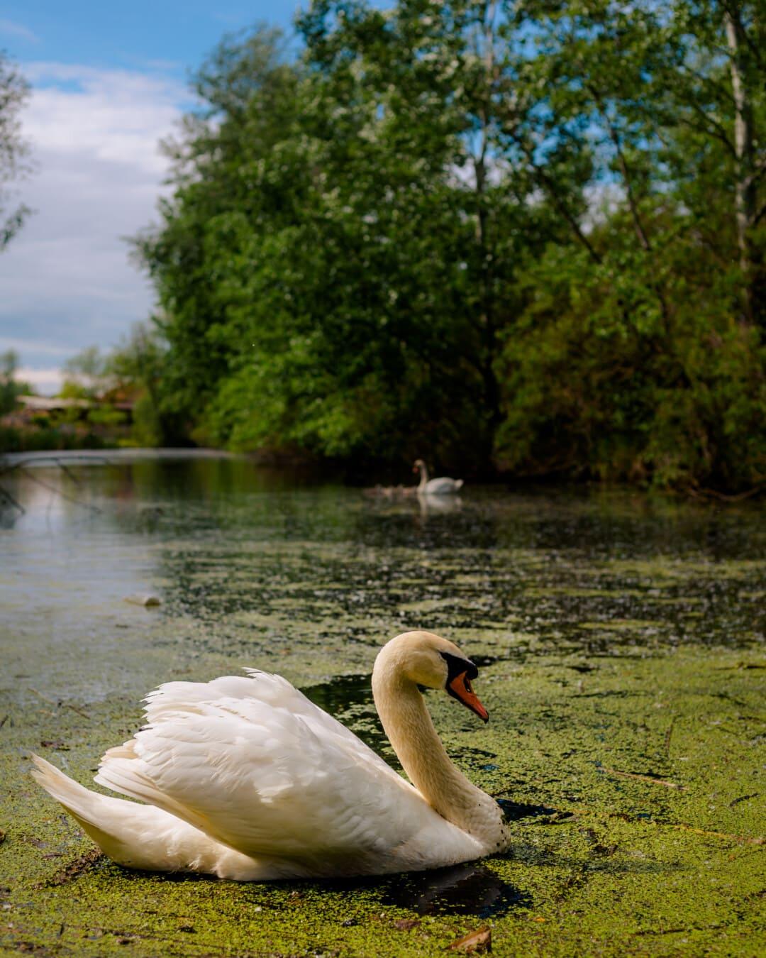 ilmapiiri, Linnut, rauhallinen, majesteettinen, joutsen, suot, luontotyypin, ekologia, nokka, lintu