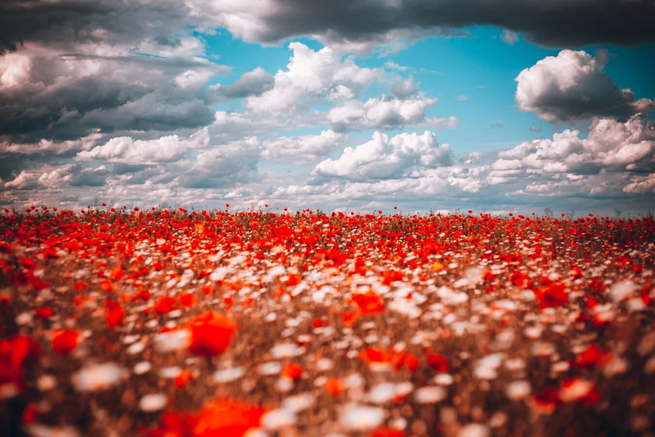 dramatisch, Wolken, Landwirtschaft, Feld, Blumen, Mohn, Blume, Natur, hell, Blatt