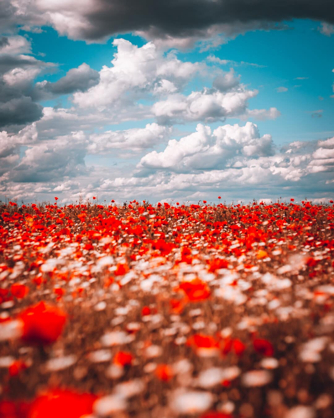 majestic, poppy, agricultural, field, flowers, red, flower, shrub, nature, leaf