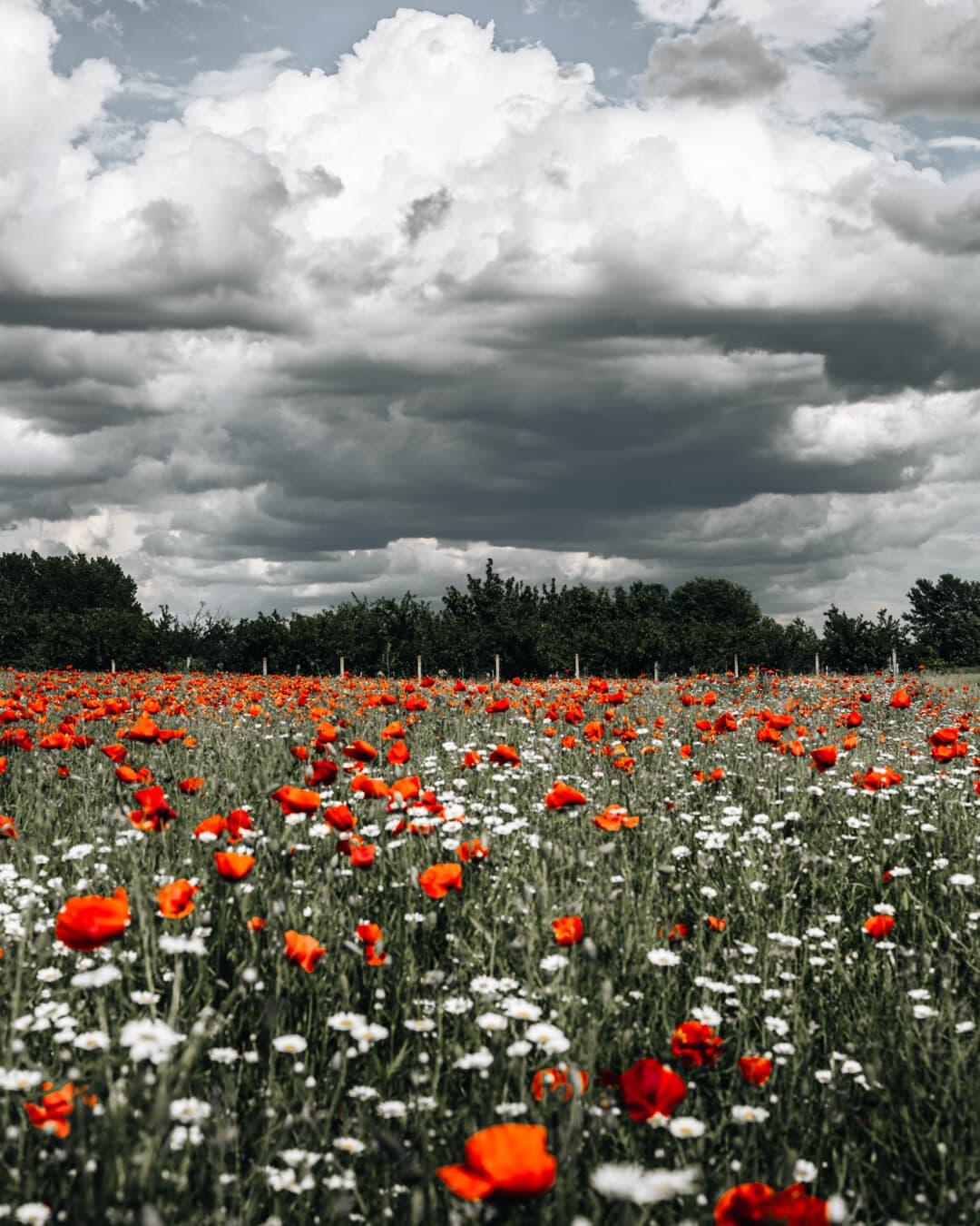 pavot à opium, idyllique, les terres agricoles, Agriculture, printemps, fleur, coquelicot, domaine, fleurs, plante