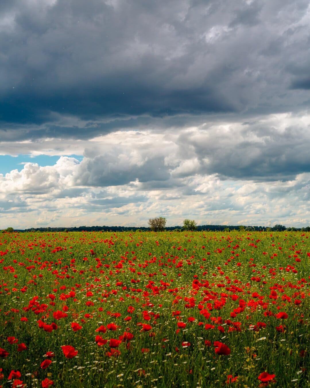 agricole, domaine, coquelicot, fleurs, prairie, nature, paysage, été, printemps, fleur