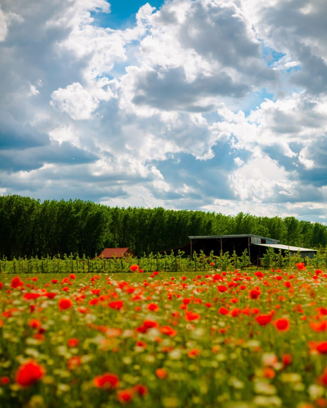 Landwirtschaft, Obstgarten, Schuppen, Mohn, Feld, Ackerland, des ländlichen Raums, Blume, Natur, Wiese