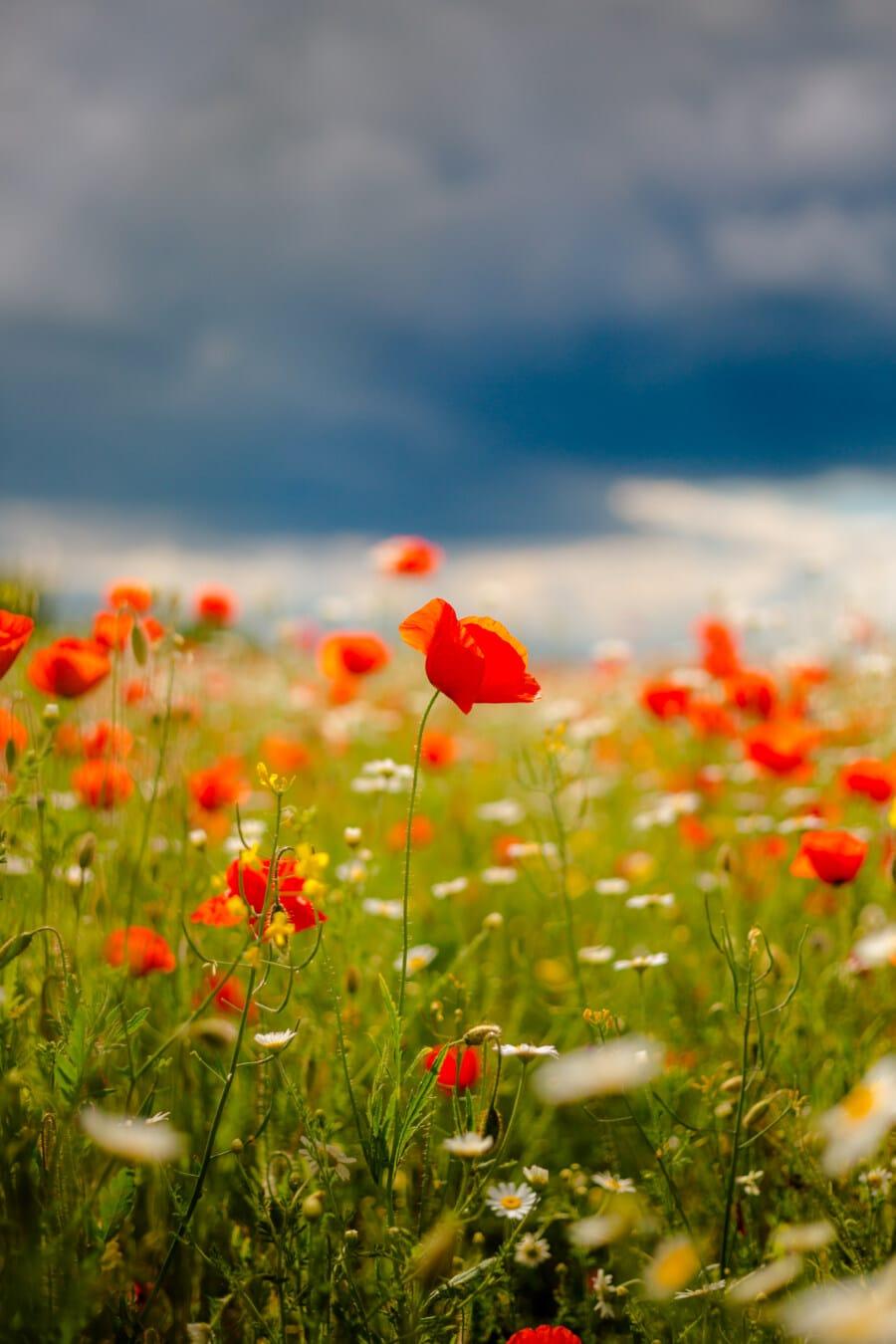 vallmo, rödaktig, sommarsäsongen, fältet, kamomill, gräsväxter, blomma, sommar, spring, blomma