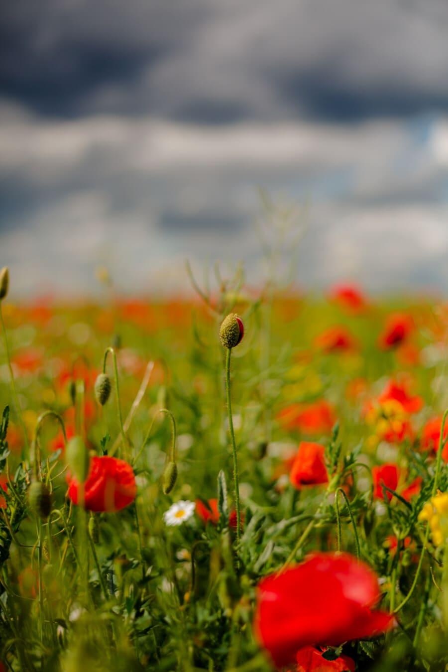 pole, ópiového maku, púčik, trávnych porastov, kvet, mak, jar, príroda, letné, kvet